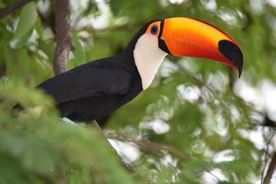Toucan à Iguazu